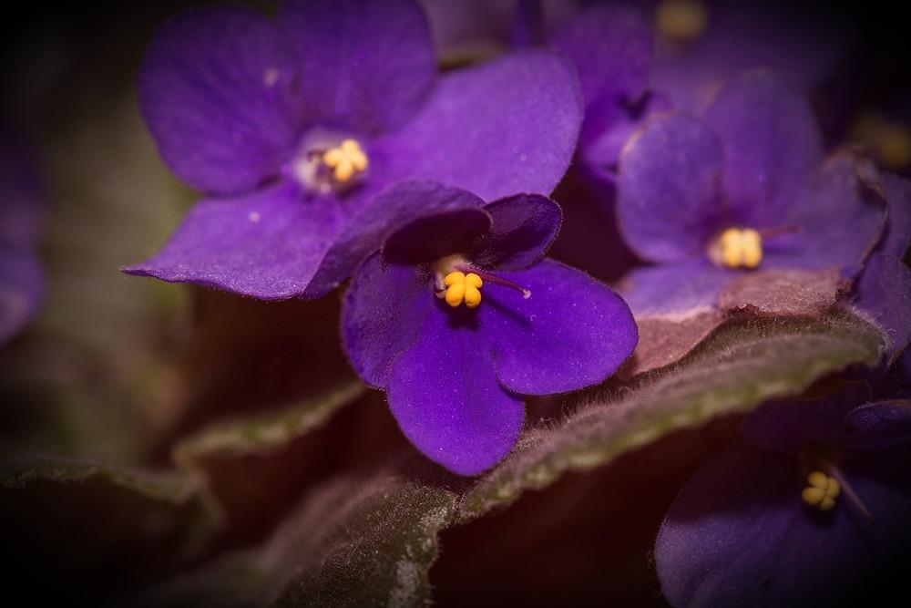 Violet, Public Domain