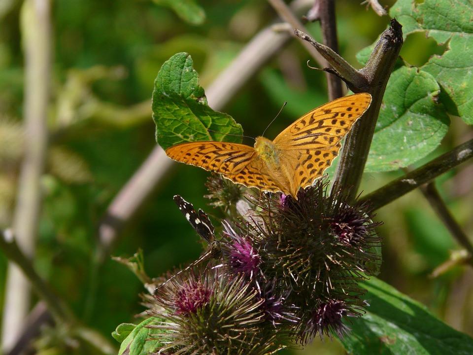 Burdock, Butterfly, CCO
