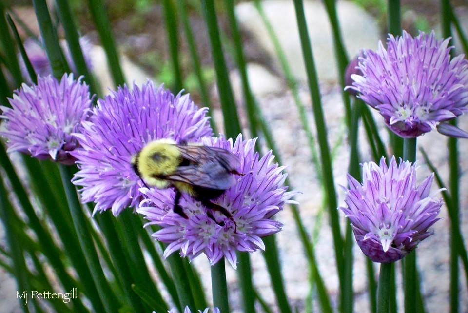 Chive Flowers, Bee