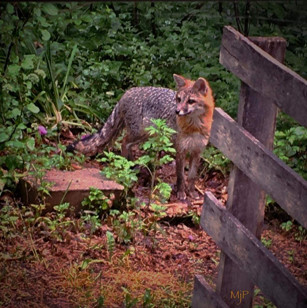 Swift, the Gray Fox