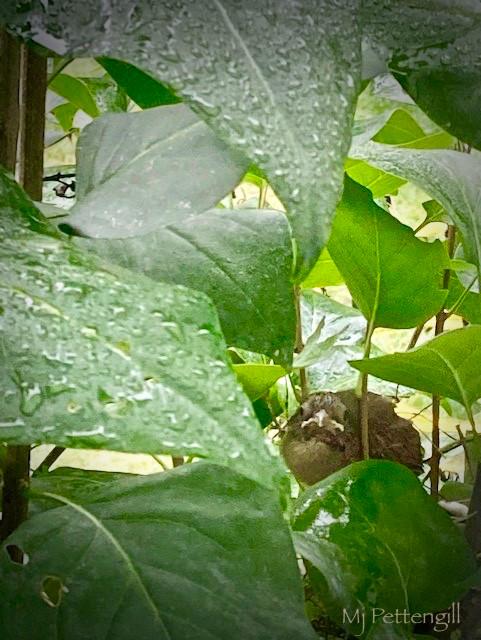 Baby Cardinal, Outside My Window, Mj Pettengill