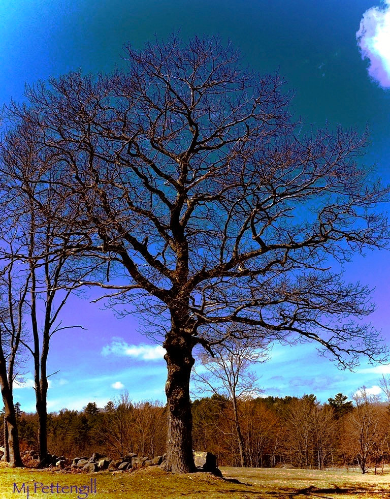 Tree, Sandwich, NH, Mj Pettengill