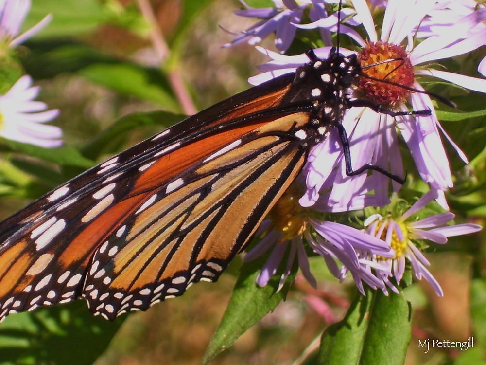 Monarch Butterfly, Mj Pettengill
