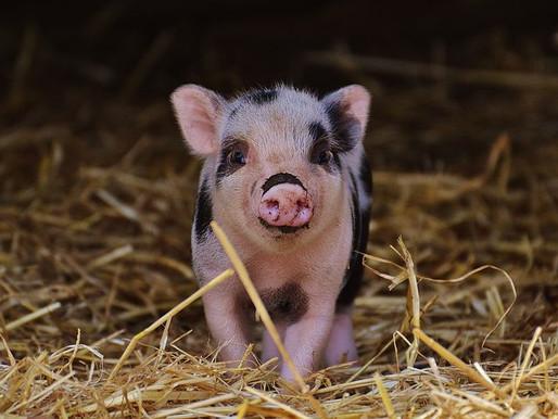 Behind Blue Eyes: Little Piggies