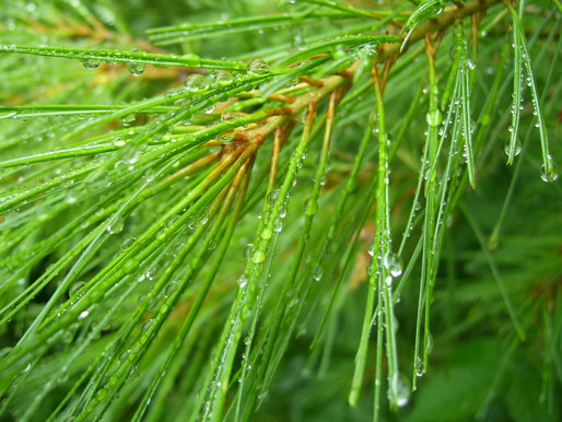 The Great White Pine: The Tree of Peace