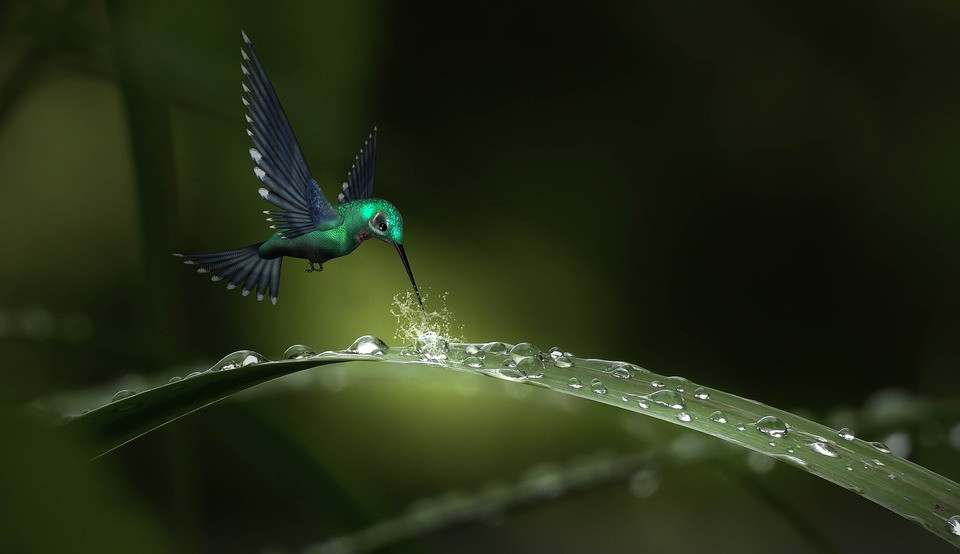 Hummingbirds, CCO