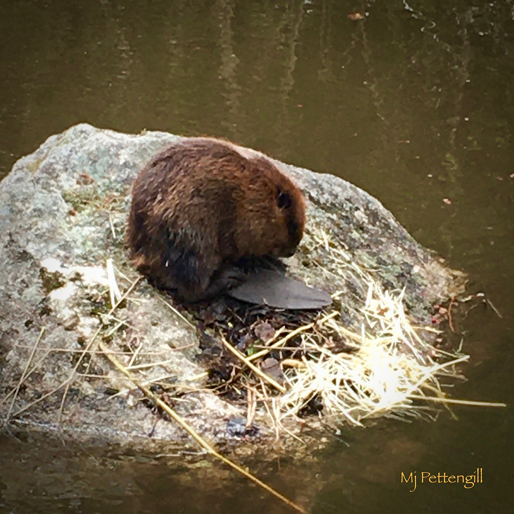 Beaver, Pond, Wildlife
