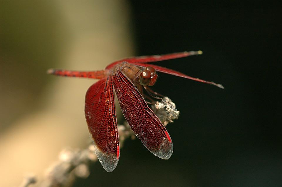 Ruby Meadowhawk, Dragonfly, CCO