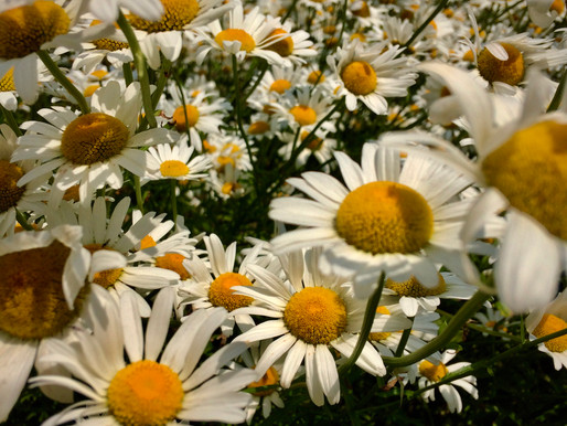 Marya of the Wood: If You Need to Consult a Daisy