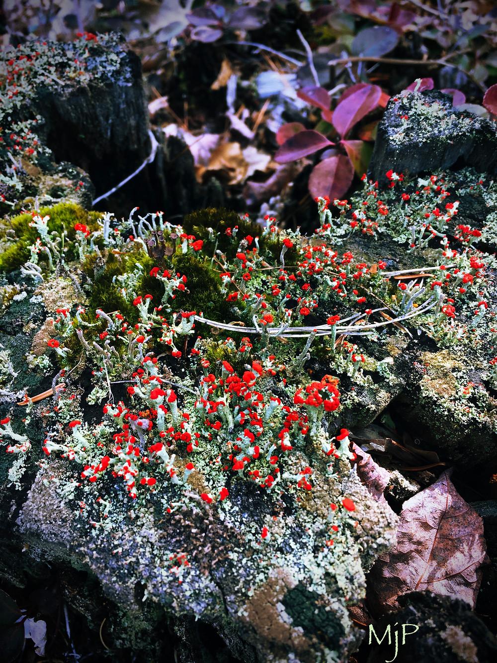 Pixie Cup Lichens, Lichens