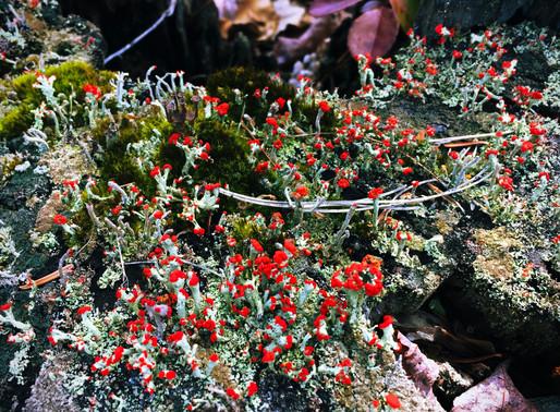 Pixie Cup Lichens