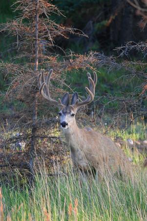 Mule Deer, Rocky Mountains, Canada