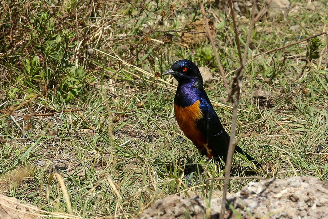 Superb Starling, Ngorongoro Crater, Tanzania