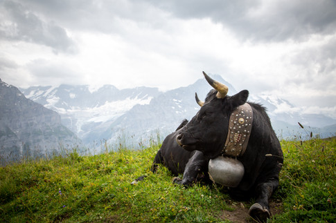 Bull, Grindelwald, Switzerland