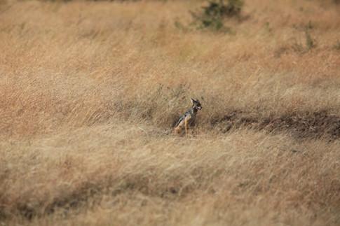 Jackal, Masai Mara, Kenya