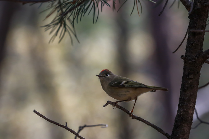 Ruby Crowned Kinglet, Sedona, Arizona, USA