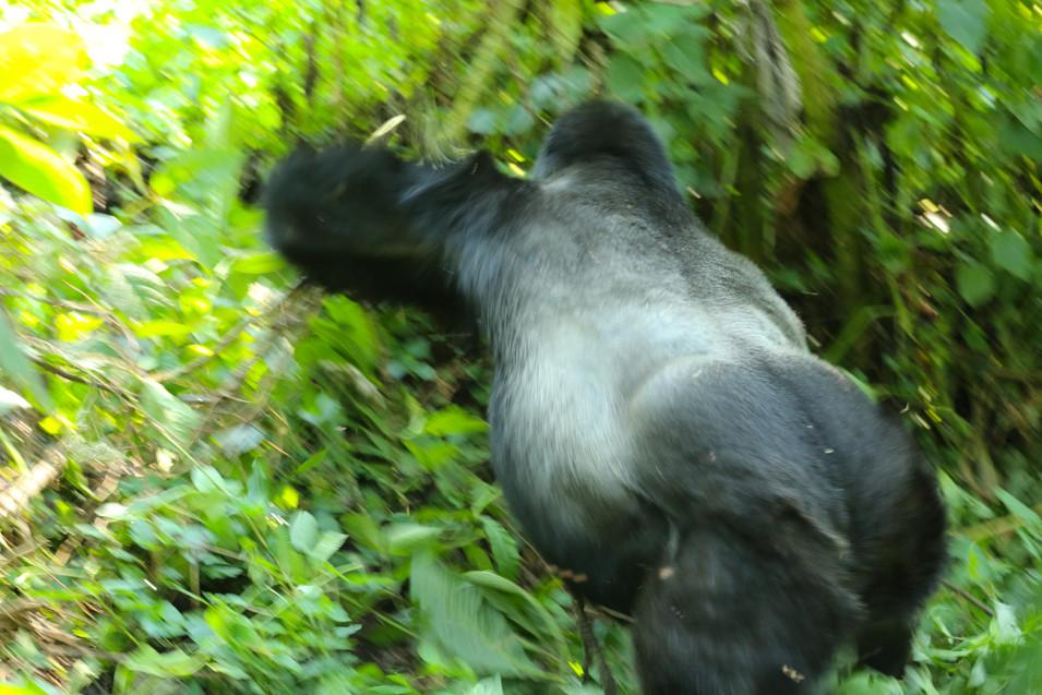 Silverback Gorilla, Bwindi Impenetrable Forest, Uganda