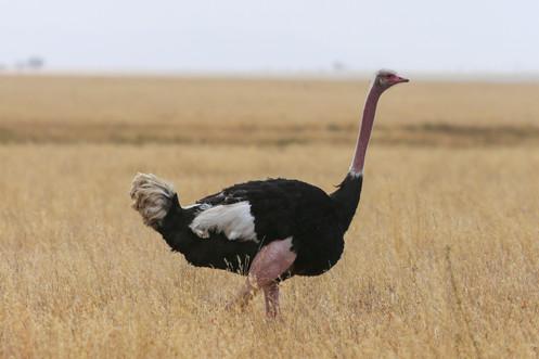 Ostrich, Serengeti Plains, Tanzania