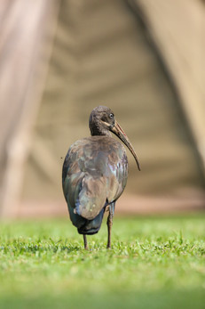 Hadada Ibis, Lake Bunyanyi, Uganda