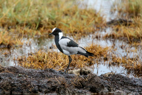 Black Plover, Tanzania
