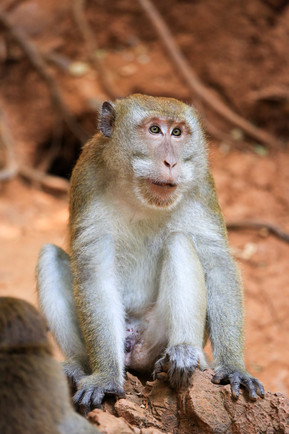Crab Eating Macaque, Railay Beach, Thailand