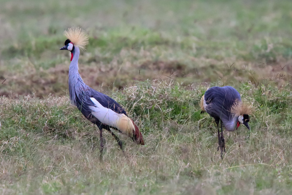 Grey Crowned Crane, Ngorongoro Crater, Tanzania