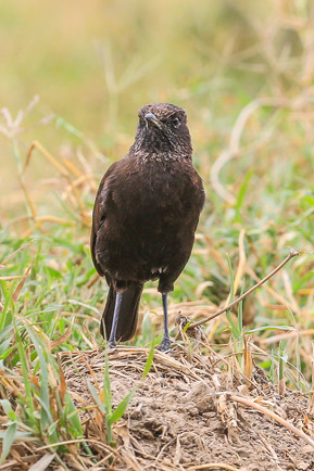 Northern Anteater Chat, Hells Gate National Park, Kenya