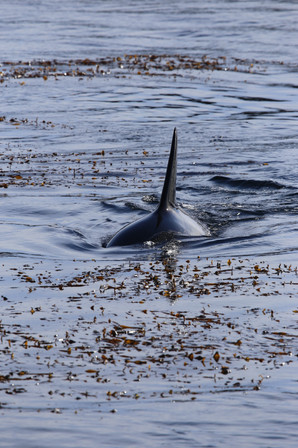 Orca, Ucluelet, Vancouver Island, BC, Canada
