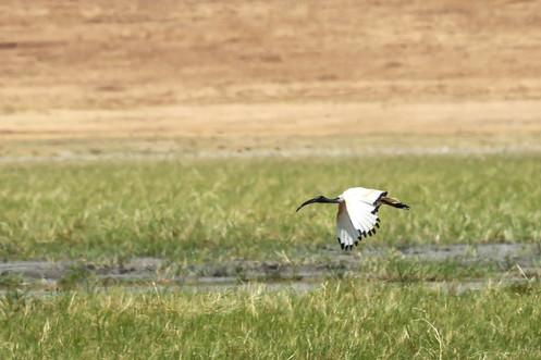 Sacred Ibis, Ngorongoro Crater, Tanzania