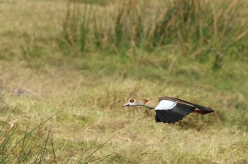 Egyptian Goose, Ngorongoro Crater, Tanzania