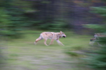 Wolf, Rcoky Mountains, Canada