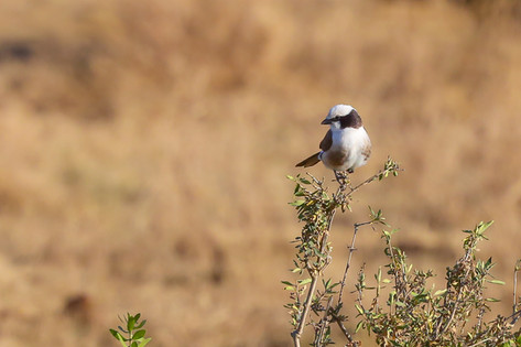 Northern White Crowned Shrike, Serengeti, Tanzania