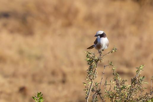 Northern White Crowned Shrike, Serengeti, Tanzania