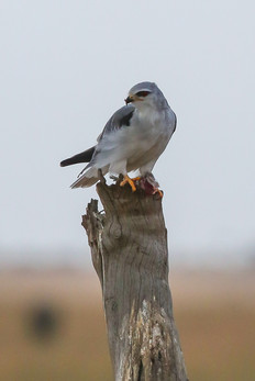 Black Shouldered Kite, Serengeti, Tanzania
