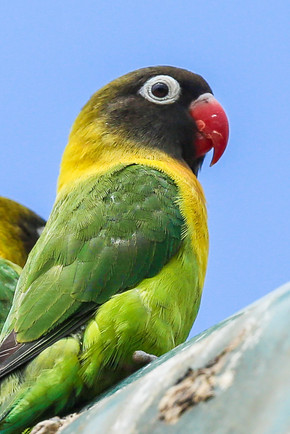 Yellow Collared Love Bird, Tanzania