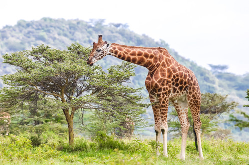 Giraffe, Kenya