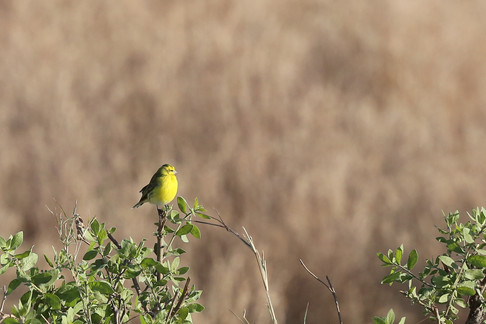 Yellow Fronted Canary, Serengeti, Tanzania
