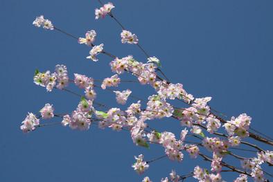 Cherry Blossoms, Tokyo, Japan