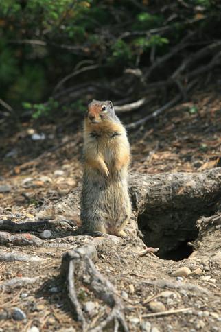 Ground Squirrel, Rocky Mountains, Canada