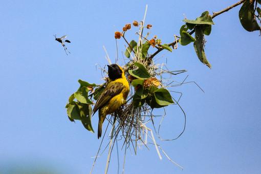 Black Headed Weaver, Ngamba Island, Uganda