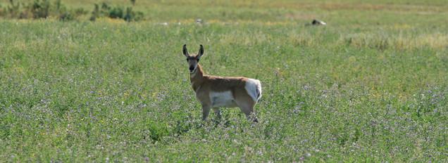 Pronghorn Antelope, Arizona, USA