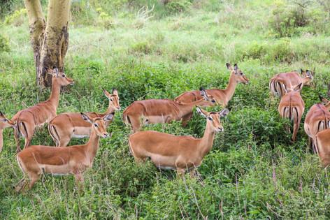 Impala, Kenya