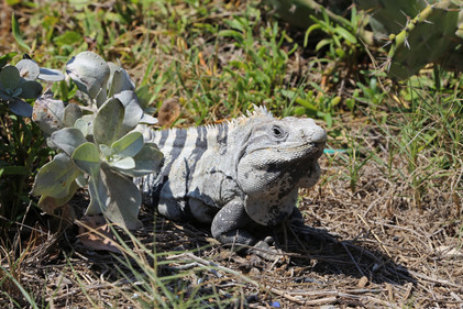 Iguana, Mexico