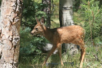 Deer, USA