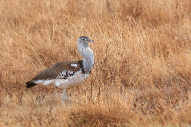 Kori Bustard, Serengeti, Kenya