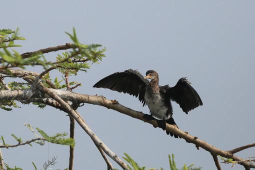 Reed Cormorant, Ngamba Island, Uganda