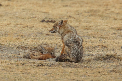 Jackals, Tanzania