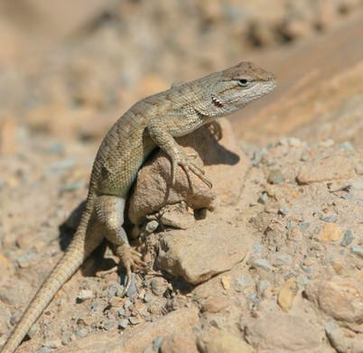 Lizard, USA