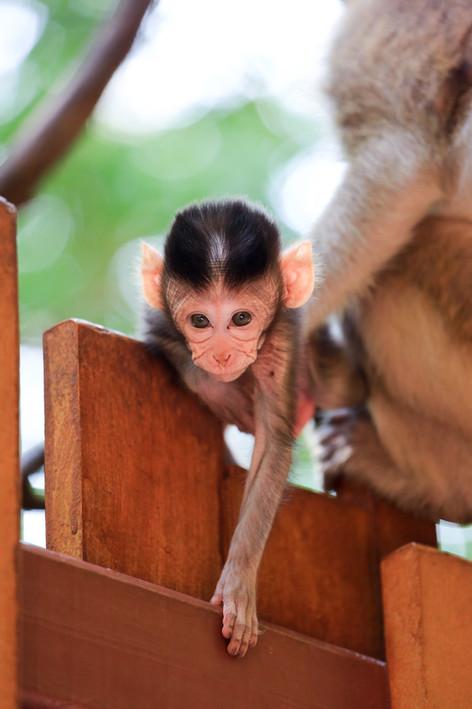 Crab Eating (Long-tailed) Macaque, Railay Beach, Thailand