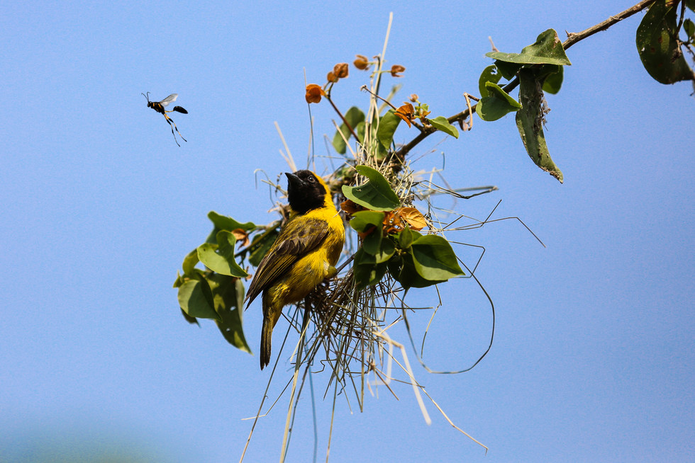 Black headed Weaver, Uganda